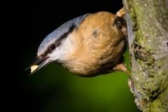 Brhlík lesní - Sitta europaea - Nuthatch