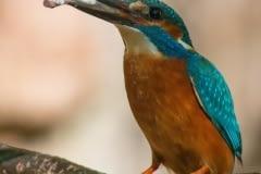 Common kingfisher - Alcedo atthis - Ledňáček říční