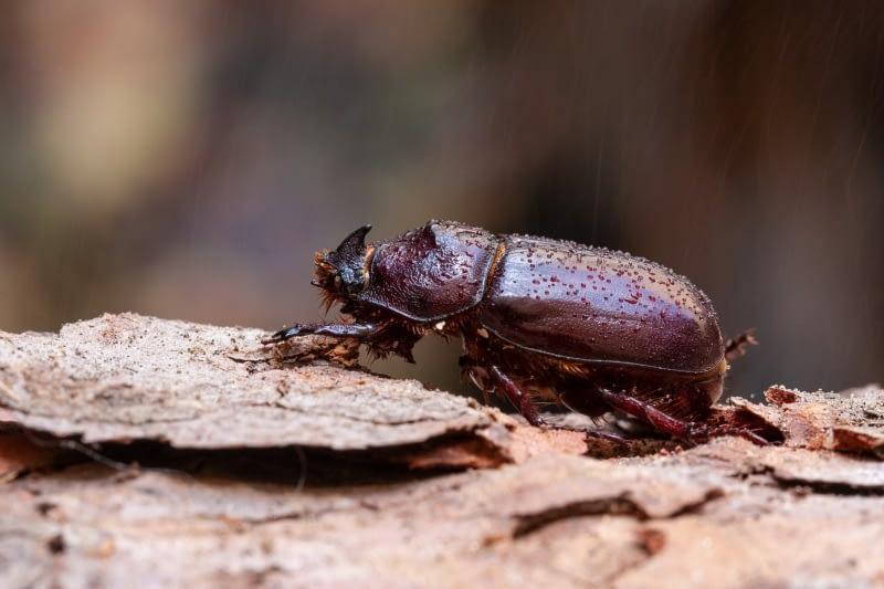 Nosorožík kapucínek - Oryctes nasicornis - rhinoceros beetle