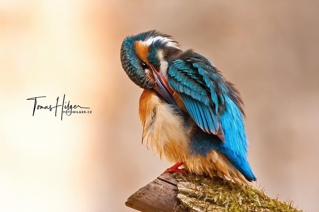 Ledňáček říční - Common kingfisher - Alcedo atthis